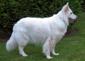 fake white wolf5 by syccas-stock