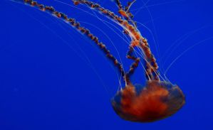 Fire Jellyfish by shahar12