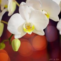White and yellow orchid 54_366 by eugene-dune