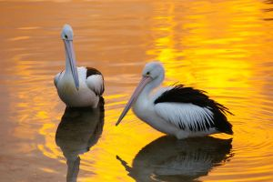 Pelicans at Sunset by RyuThorne