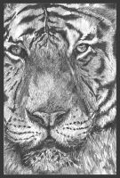 the tiger sketch by last-trace