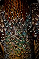 Plumage 1 by LateRose-Stock