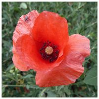 Corn Poppy 2 by jankolas