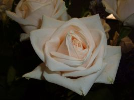 Light Pink Rose 04 by Lengels-Stock
