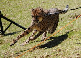 Cheetah chasing by fosspathei