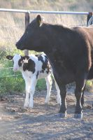 Cow with a new calf! by Australisa