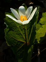Blood Root and Veins by talwin