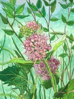 Milkweed by sitres
