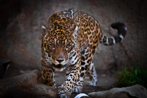 Jaguar by LifeCapturedPhoto