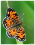 Pearl Crescent by CTP