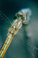 dragonFLY by freepupa