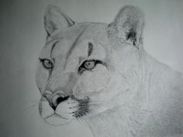 Puma drawing by Pluvier-Croisette