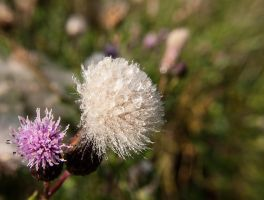 Thistle by Inilein