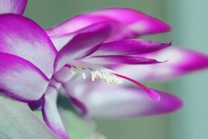 pink cactus flower by hv1234