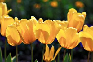 Yellow Tulips by megapixelclub
