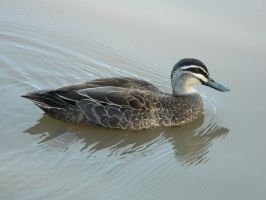Duck 005 - HB593200 by hb593200