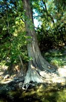 Frio River Tree by lamorth-the-seeker