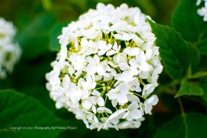 Snowball Bloom 0936 by TommyPropest-Candler