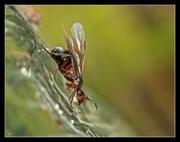 Queen ant by Alexandra35