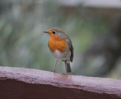 little robin by MyBrightSide33