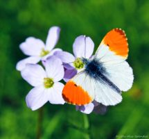 Orange-tip by Little-Miss-Splendid