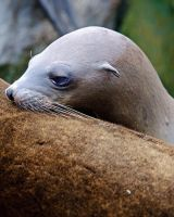 Baby Sea Lion 33254 by hfpierson
