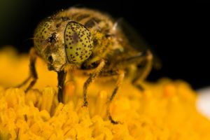 Hungry Hoverfly IV by dalantech