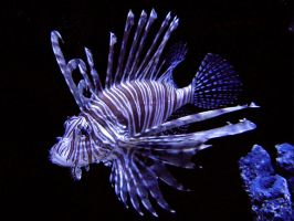Lion Fish by NathanRosario