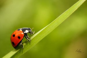 Coccinellidae by EliseJ-Photographie