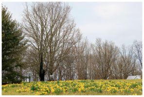 The daffodils of Baumgardner Rd - 2013 by CrystalMarineGallery