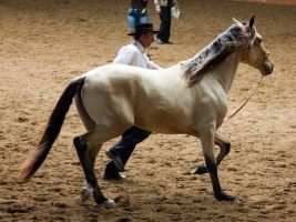 STOCK - 2014 Andalusian Nationals-172 by fillyrox