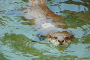 Swimming Asian Otter by DingoDogPhotography