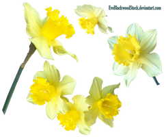 Daffodils 2 PNG by EveBlackwoodStock