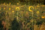 Sunflower Stock 24 by Malleni-Stock
