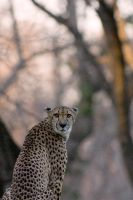 Cheetah 4 by Art-Photo