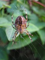 spider by Caltha-stock