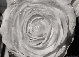 Delicate White Rose (Black and White Version) by FrancescaDelfino