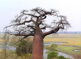 Baobab Tree Namibia by Jenvanw