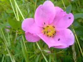 Tiny bugs in pink flower by LivingInAMadWorld
