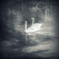 Autumn swans by lostknightkg