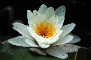 Water-lily by Adsarta