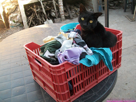 Premio gets to the basket of clothes x3 by Karu12