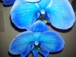 my orchid...... by morganablackmoon