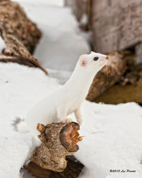 Short-Tailed Weasel 5 by Les-Piccolo