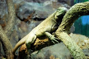 Houston Zoo - Iguana by BPHaines