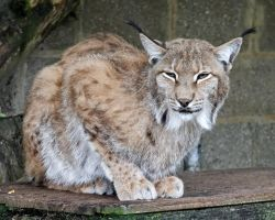 Lynx 01 by LydiardWildlife