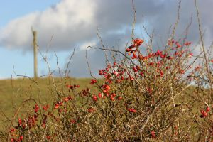 Red berries by frits10a
