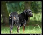 Beauceron by Kiba67