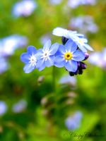 Forget Me Not I by ChirpyChickadee