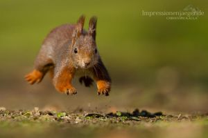Red Squirrel by chriskaula